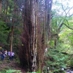 Tamagomizu and Large Katsura Tree of Myogasasu