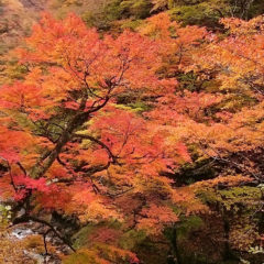 Autumn Leaves of Nakatsukyo