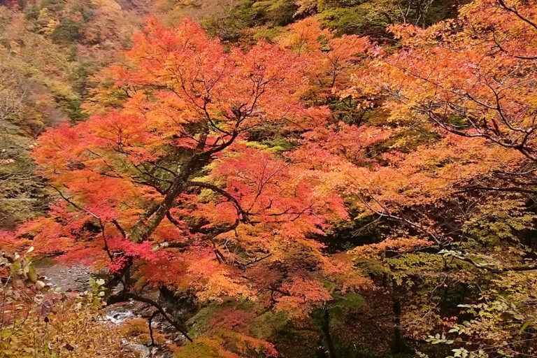 Autumn Leaves of Nakatsukyo