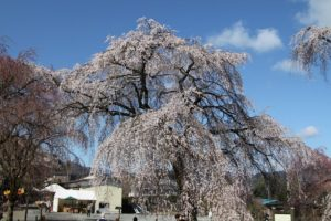 Weeping Cherry of Arakawa River