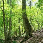 大山沢のシオジ林