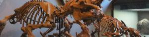 パレオパラドキシア骨格模型